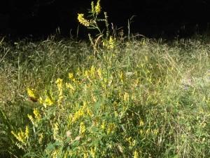 melilot jaune 1 17072014 016
