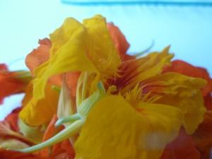 capucines fleurs P1020578