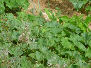 jardin cali melon P1020367