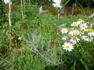 jardin cali sauge de russie et matricaire P1020375