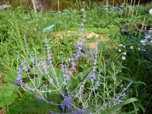 jardin cali sauge de russie P1020374