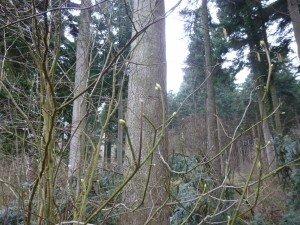 arbre à muguet en bourgeon P1050107