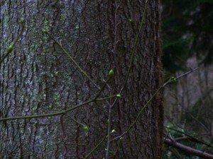 arbre à muguet en bourgeon P1050123