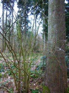 arbre à muguet , sapin et noisettier P1050120