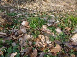 feuilles de violettes P1040997