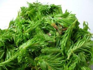 1 bourgeons de sapin P1050414