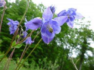 Ancolie commune Aquilegia vulgaris P1050478