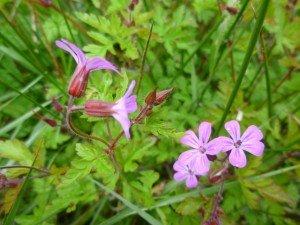herbe à robert ,la plante est astringente, diurétique, antihémorragique et vulnéraire,jeunes pousses et fleurs en salades.. P1050479