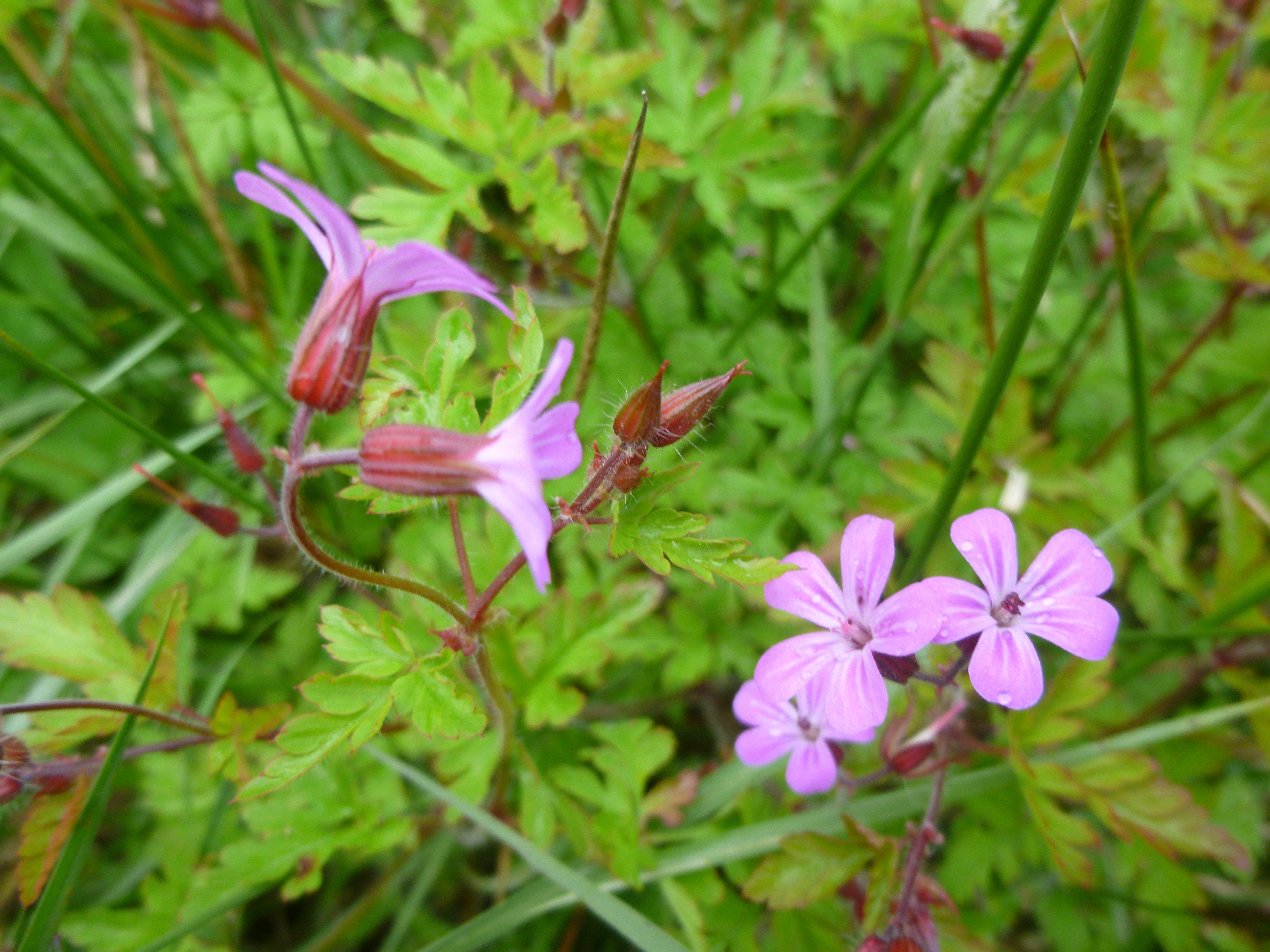 R sultats de recherche plante astringent diuretique for Recherche plante
