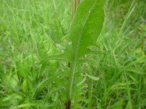 laiteron des champs feuilles , les feuilles sont comestibles ,riches en vit C , meilleures avant floraison P1050523