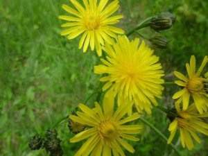laiteron fleurs P1050525