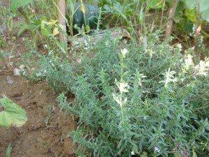 1 sarriette au jardin P1060229