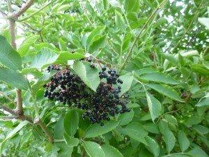 sureau arbre comestible