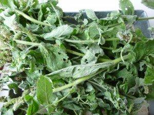 1 feuilles de menthe P1060358