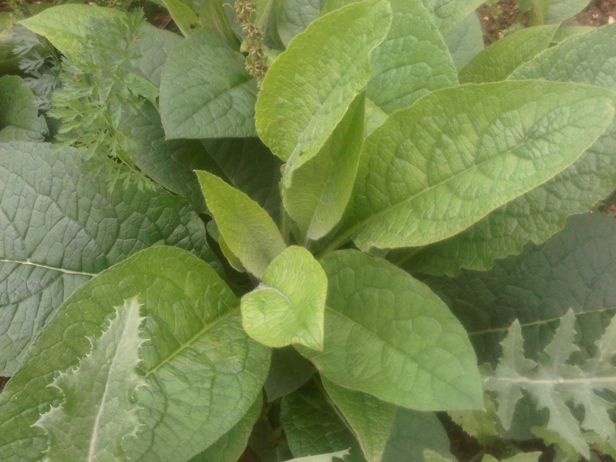 La consoude officinale symphytum officinale une source for Ou acheter plante